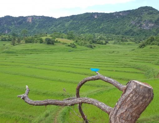 Rijstvelden Myanmar